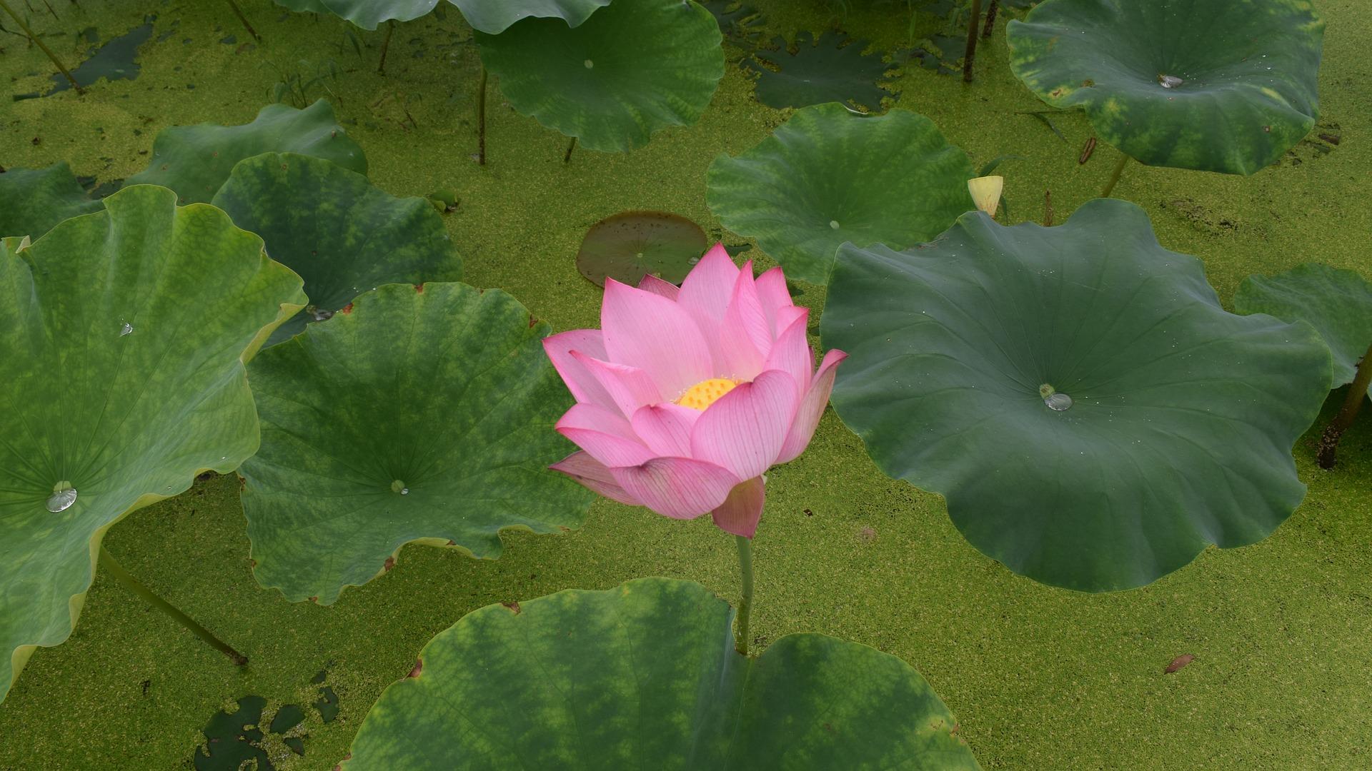 lotus-2422092_1920
